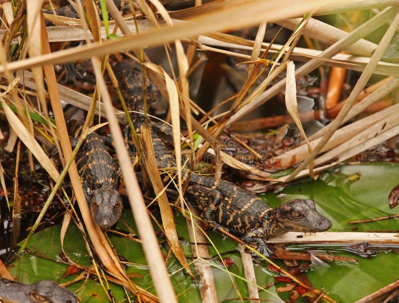 болотистые низменности florida 2 младенца аллигаторов стоковое фото