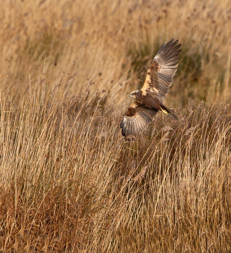 болото звероловства harrier стоковые изображения rf