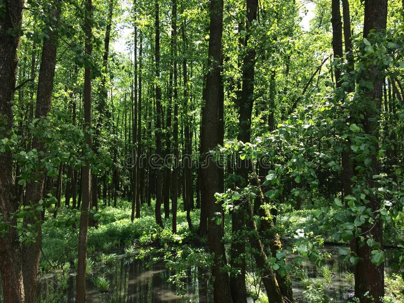 Болото и болото леса трясины весной стоковые фото