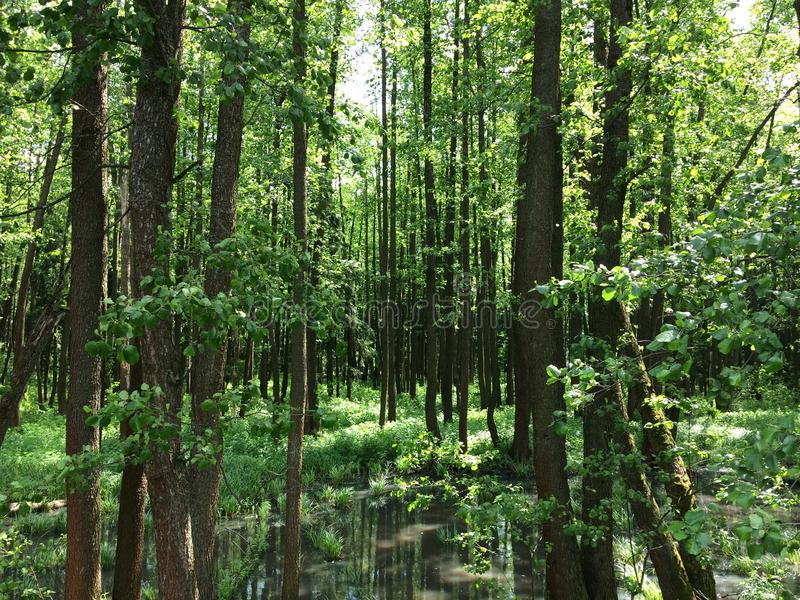 Болото и болото леса трясины весной стоковое фото