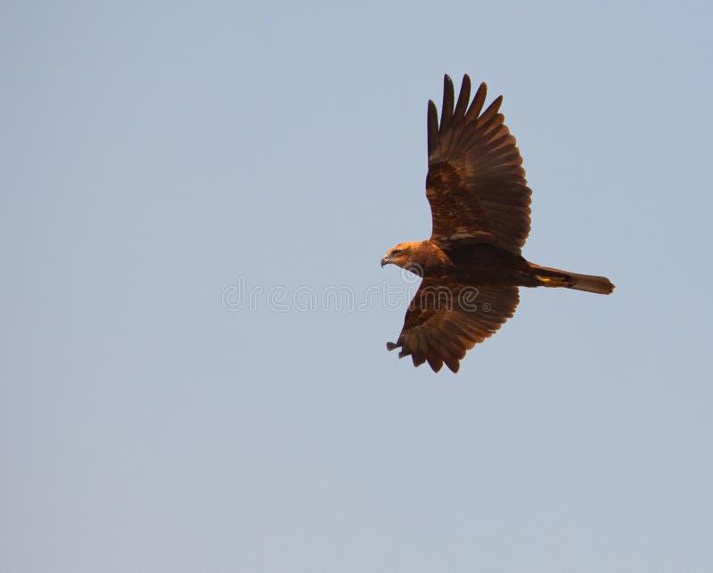 болото harrier полета стоковое фото rf