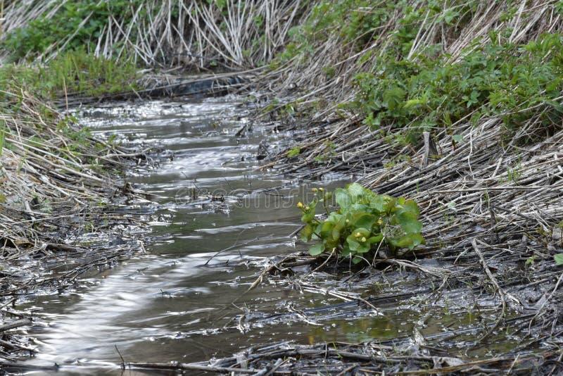 Болот-ноготк в потоке леса стоковые фотографии rf