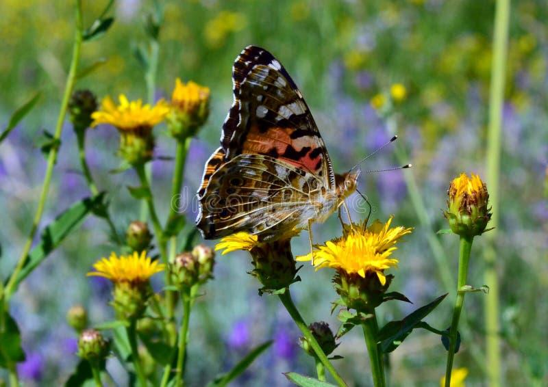 Большая бабочка с большими оранжевыми и черными крыльями сидит на желтом цветке степи стоковая фотография