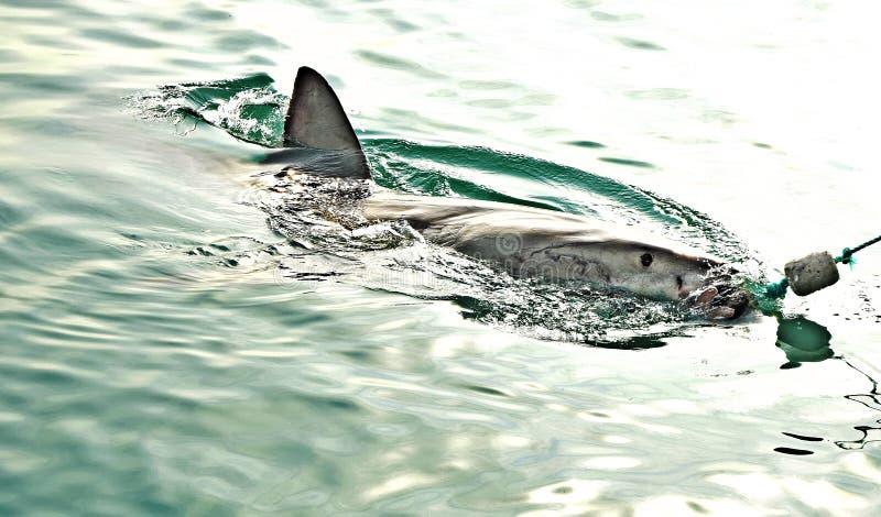 Большая белая акула пробивая брешь поверхность моря для того чтобы уловить прикорм мяса и decoy уплотнения стоковая фотография
