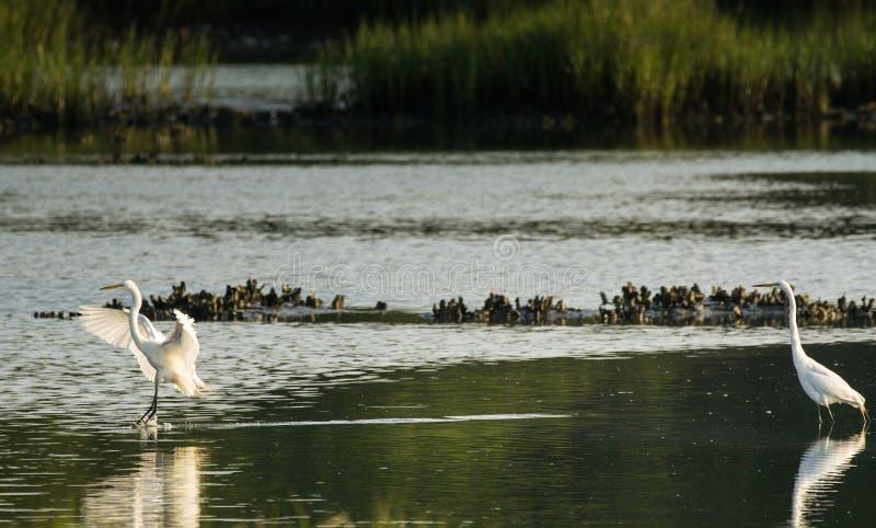 Большая белая посадка egret в соленом болоте стоковое фото rf