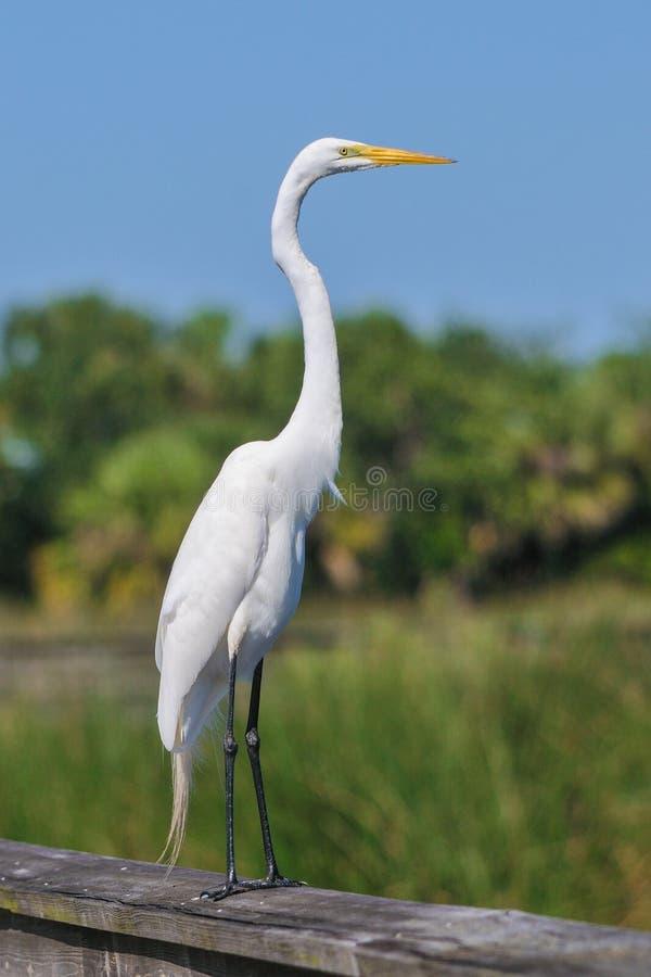 Большая белая птица egret стоковые изображения rf