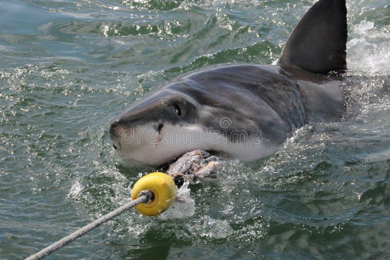 большая белизна акулы стоковые изображения