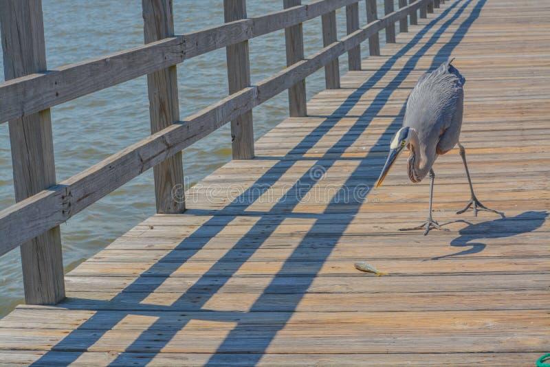 Большая голубая цапля видит рыбу для еды на удя пристани на порте залива, Harrison County Миссиссипи, Мексиканском заливе США стоковое изображение rf