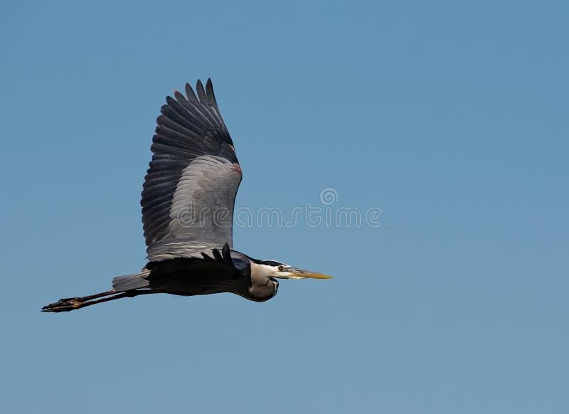 Большая голубая цапля в полете против ясного голубого неба стоковые изображения rf
