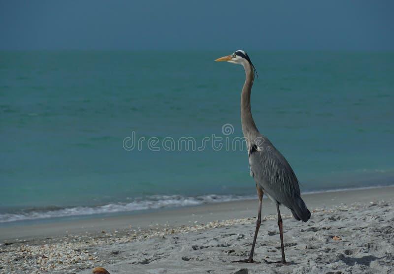 Большая голубая цапля на пляже стоковые изображения