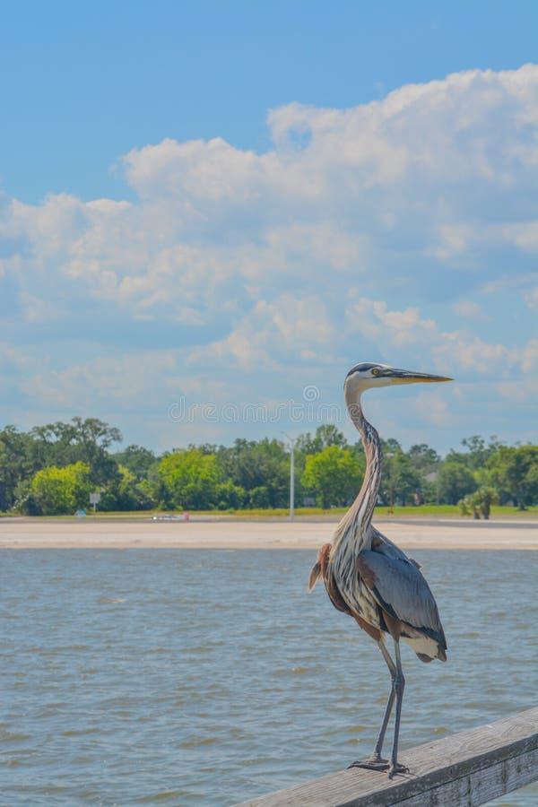 Большая голубая цапля на старшем Джим Симпсон удя пристань, Harrison County, Gulfport, Миссиссипи, Мексиканский залив США стоковые изображения