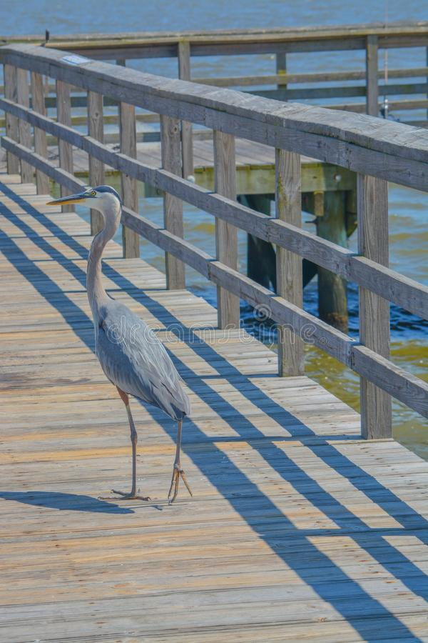 Большая голубая цапля на старшем Джим Симпсон удя пристань, Harrison County, Gulfport, Миссиссипи, Мексиканский залив США стоковое фото rf