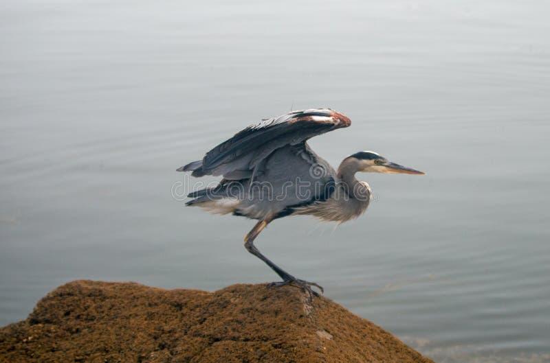Большая голубая цапля около, который нужно принять в полет на заливе Morro на центральном побережье Калифорния США стоковые изображения
