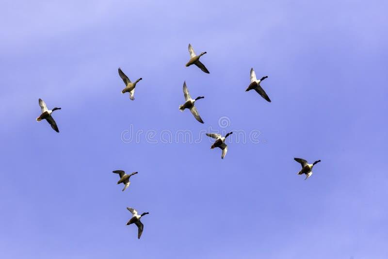большая группа в составе утки летая в образование стоковые фотографии rf
