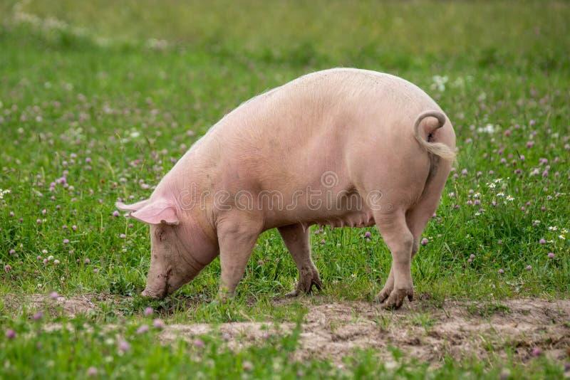 Большая женская свинья пася в зеленом поле лета стоковые изображения