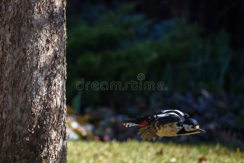Большая запятнанная птица Dendrocopos woodpecker главное стоковое изображение