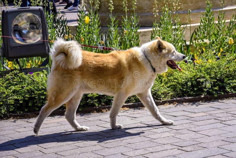 Большая запятнанная собака идет на поводок стоковое фото