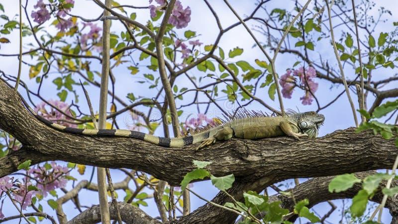 Большая зеленая игуана в дереве стоковые изображения