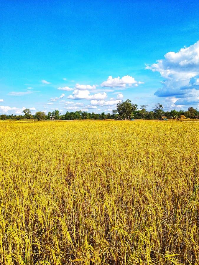 Большая золотая рисовая посадка в голубом небе стоковое фото rf