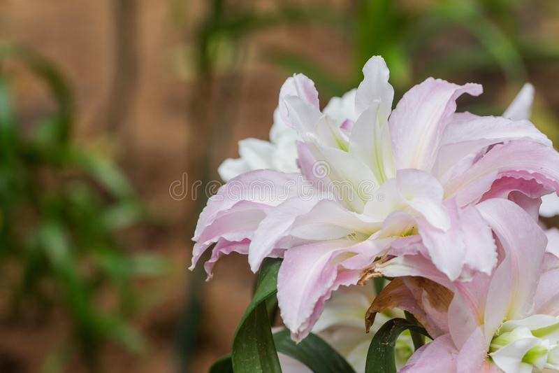 Большая лилия spp элегантна и красива Некоторые виды благоухания Цветок с самым дорогим в наше время стоковое изображение rf
