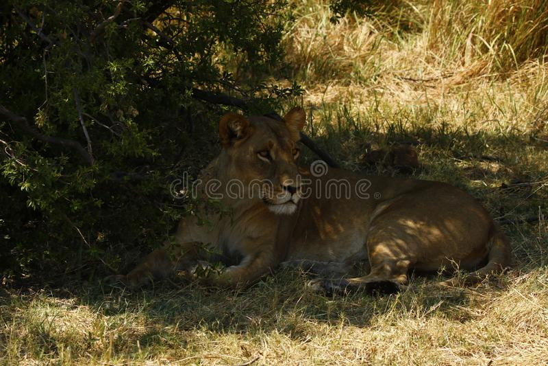 Большая львица в тени стоковое фото