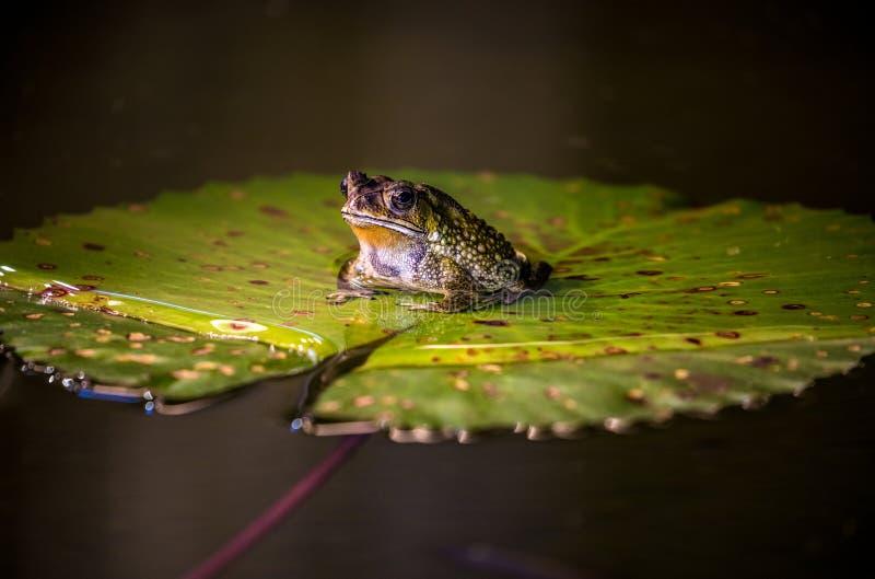 Большая лягушка сидит на лист зеленого цвета вод-лилии стоковое фото rf