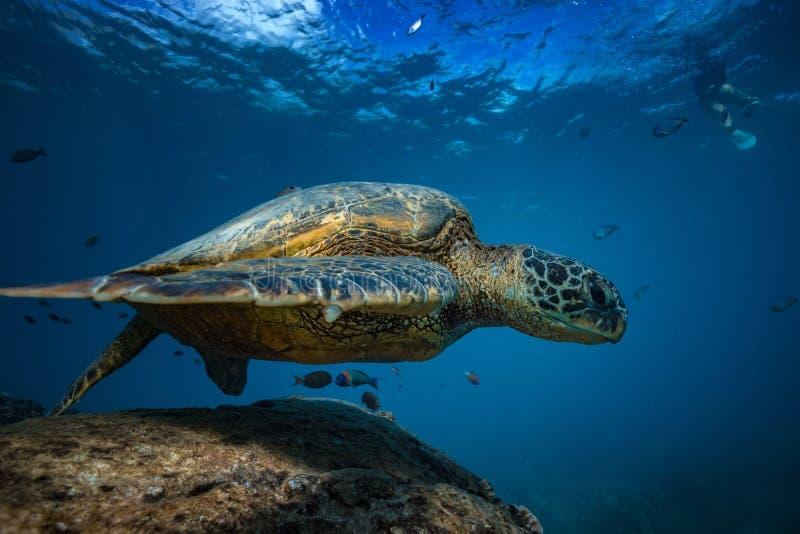 Большая морская черепаха против взгляда поверхности воды нижнего стоковые изображения