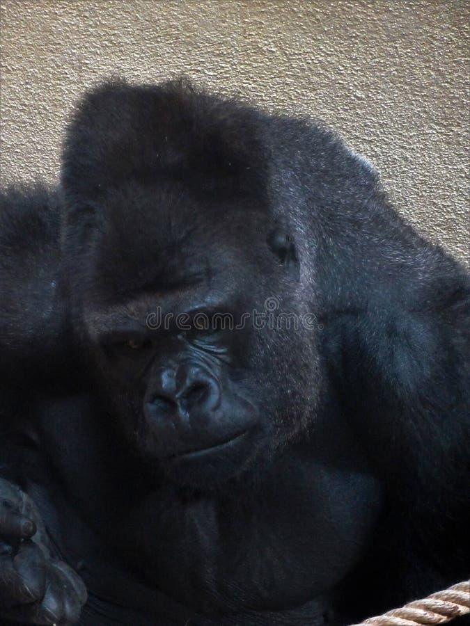 Большая мужская горилла: крупный план стороны стоковые изображения rf