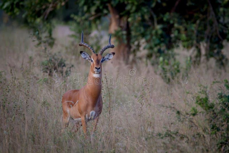 Большая мужская импала стоя в траве стоковое изображение