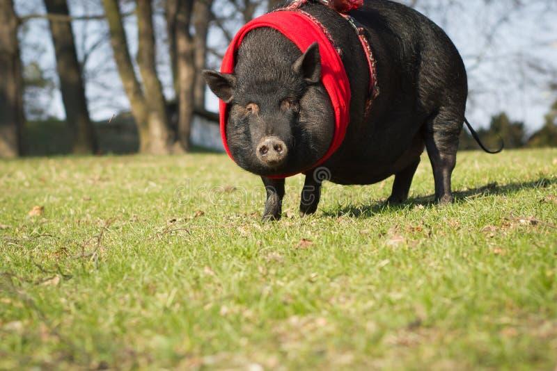 Большая/огромная милая свинья на длинной прогулке в парке/ботаническом garde стоковые изображения rf