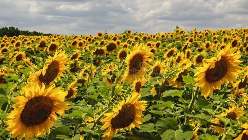 Большая плантация красивых желтых зацветая солнцецветов стоковая фотография