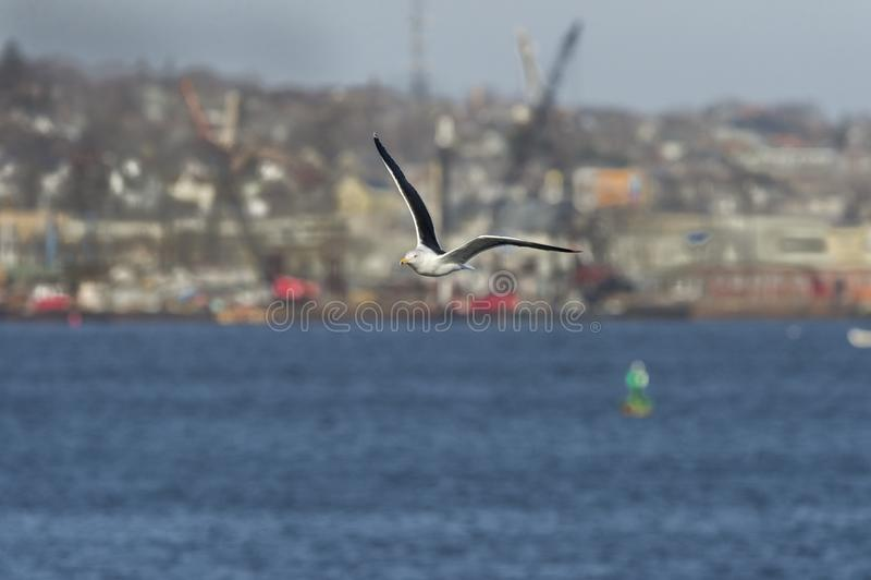 Большая поддерживаемая черно чайка в полете New Bedford в предпосылку стоковое изображение