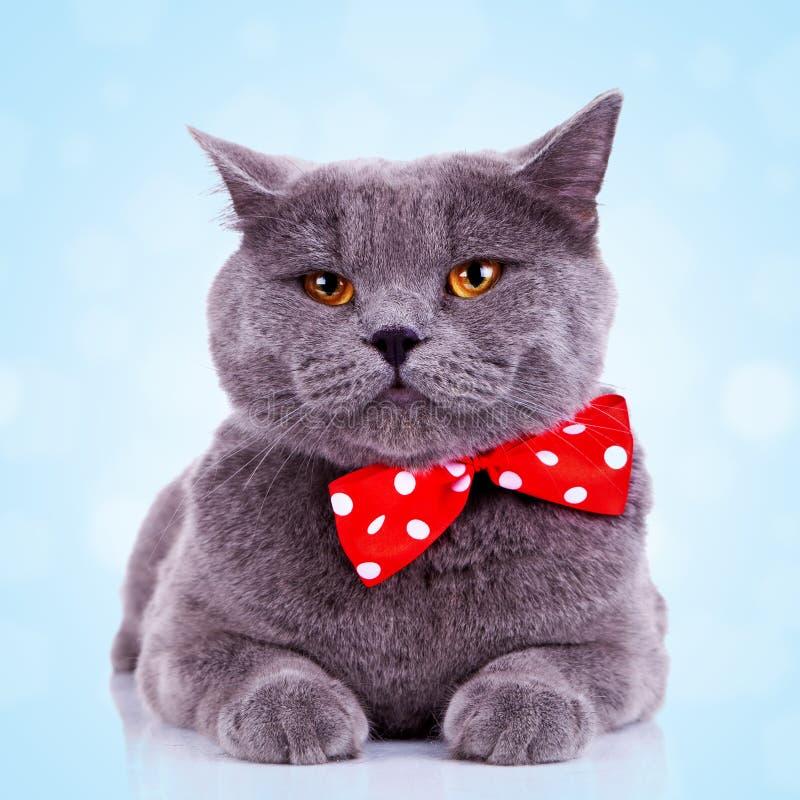 большая пробуренная английская язык кота стоковое фото
