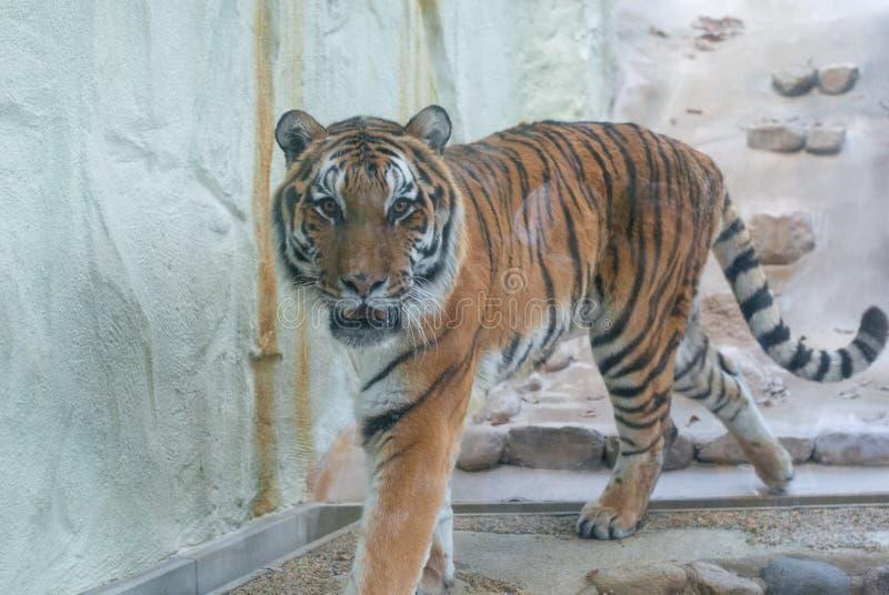 Большая прогулка тигра в клетке в зоопарке идя и смотря в камеру стоковые фотографии rf