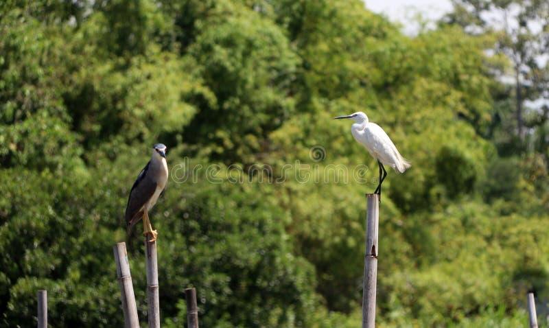 Большая птица Egret и Черно-увенчанная птица цапли ночи садясь на насест на верхней части высушенного бамбука с деревом зеленого  стоковые фото