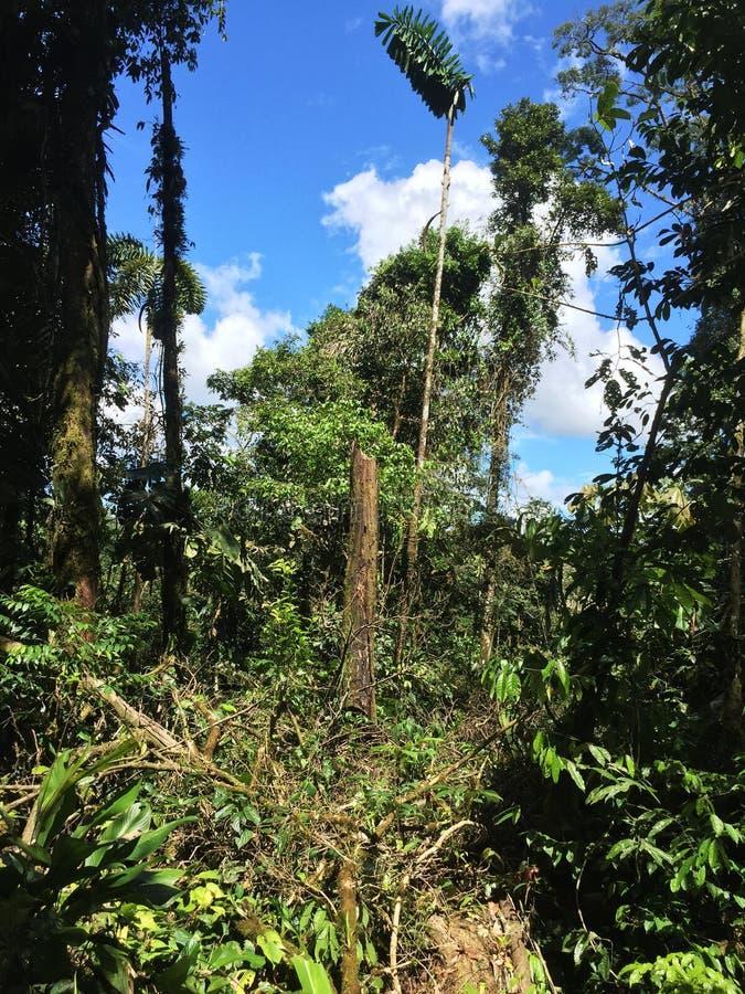 Большая расчистка в джунглях из-за дерева которое было упадено сверх стоковые фотографии rf
