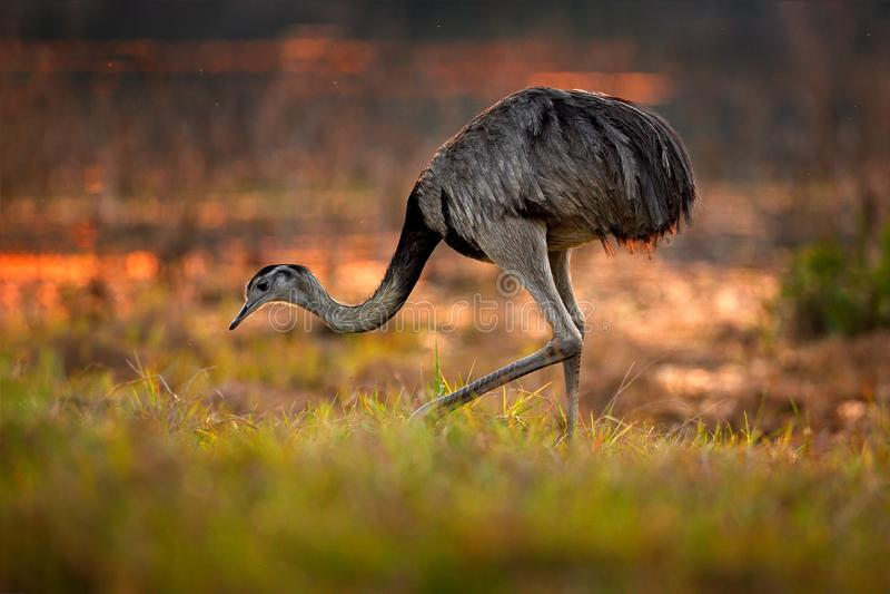 Большая Рея, Рея Американа, большая птица с пушистыми пер, животное в среду обитания природы, выравнивая солнце, Pantanal, Бразил стоковое изображение