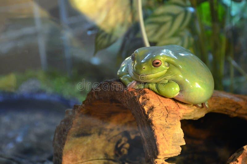 Большая ровная зеленая лягушка с оранжевыми глазами лежит на ветви в terrarium Пухлая лягушка наблюдает и усмехается стоковая фотография rf