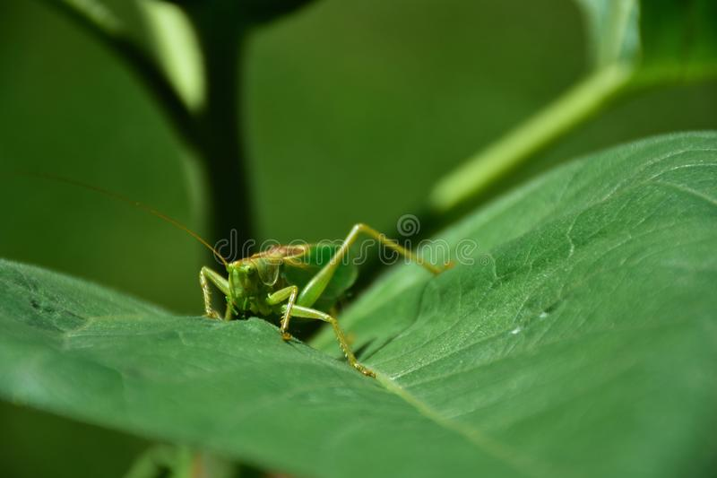 Большая саранча ест лист стоковое фото rf