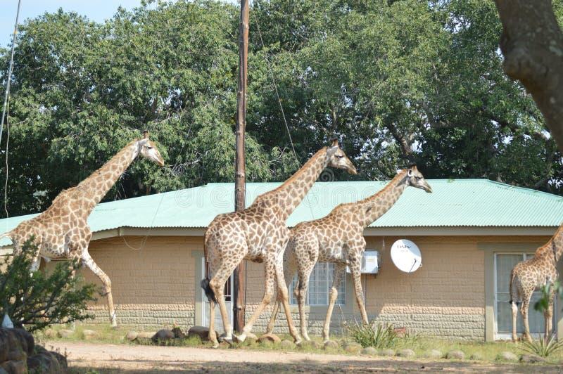 Большая семья жирафа в парке Marloth идя на улицы вокруг домов стоковое изображение