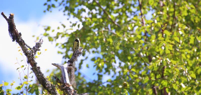 Большая синица (майор Parus) сидя на мертвом дереве перед березой стоковое фото