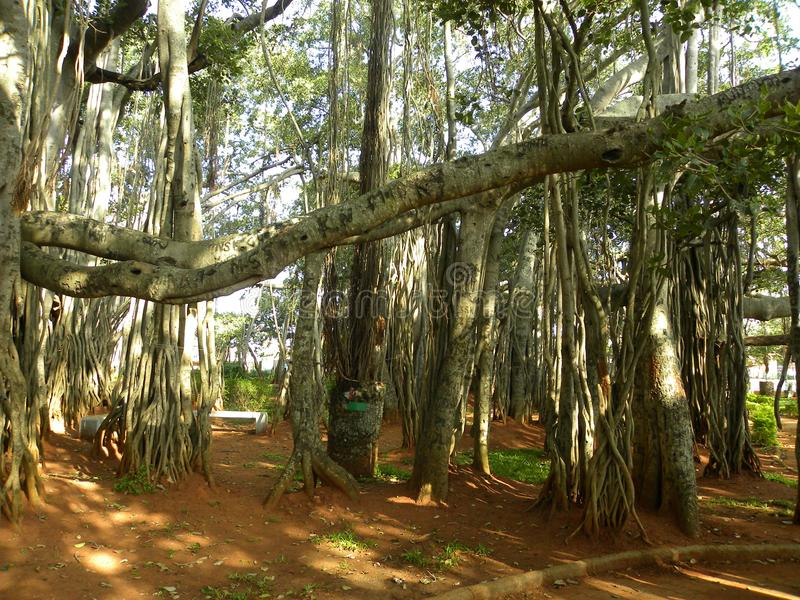 Большая смоковница баньяна с adventitious корнями и ветвями упорки стоковое изображение rf
