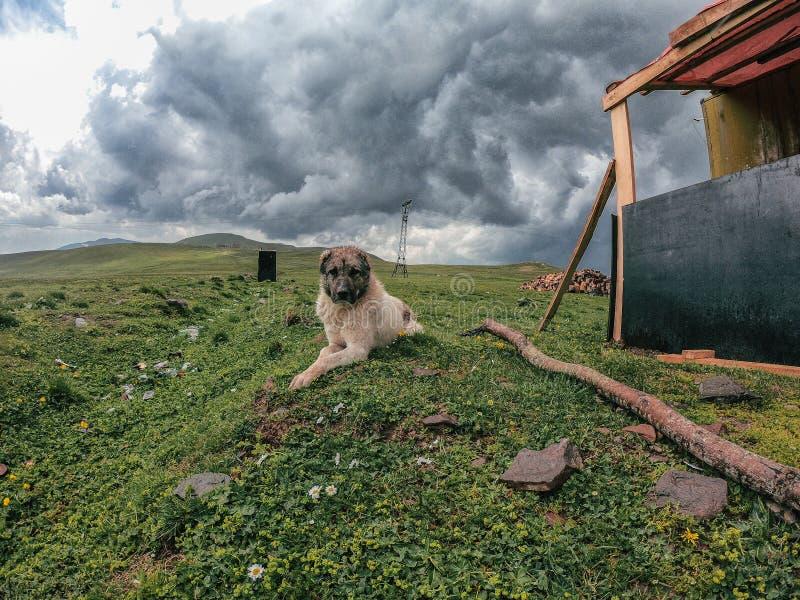 Большая собака в кавказских горах в Georgia стоковые изображения