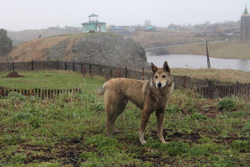 Большая собака идя в дождь стоковая фотография