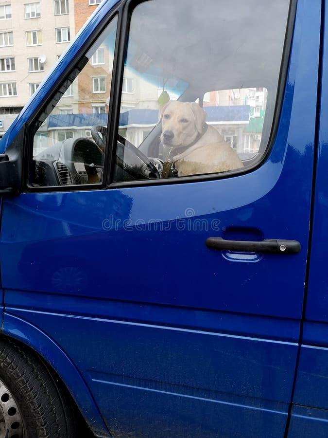 Большая собака сидит на переднем сиденье серой машины стоковое фото rf