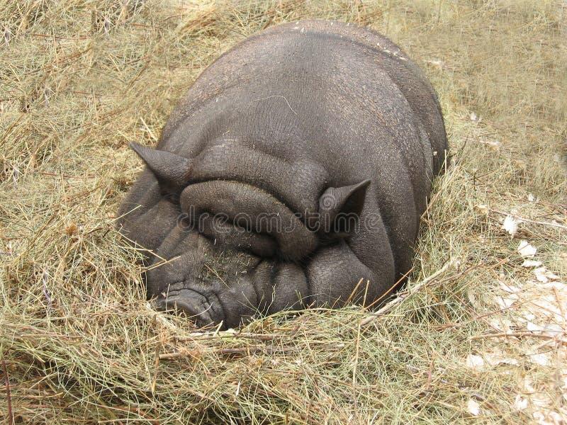 большая тучная свинья стоковое изображение