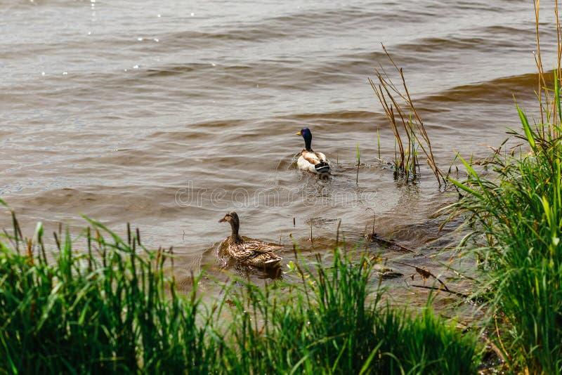 Большая утка и заплыв Drake в реке среди тростников стоковая фотография