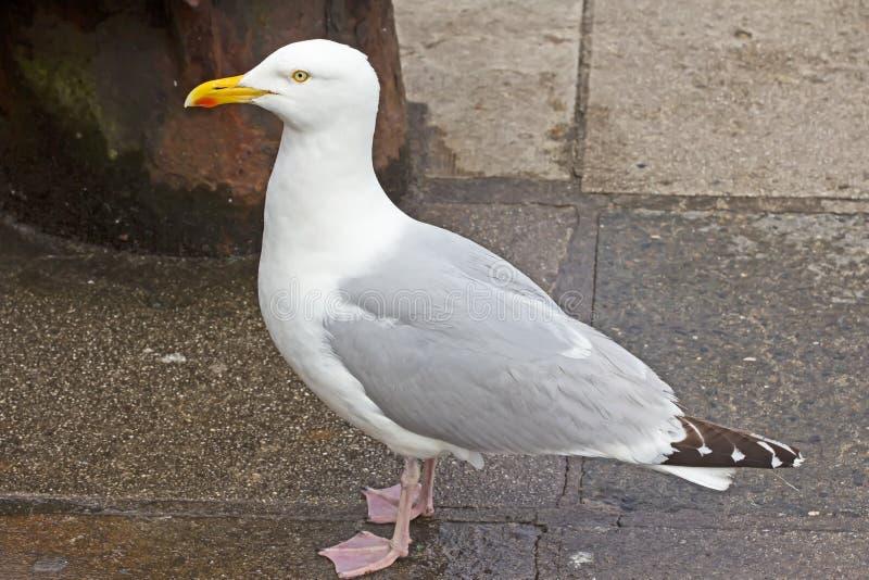 Большая чайка сельдей стоковые фото