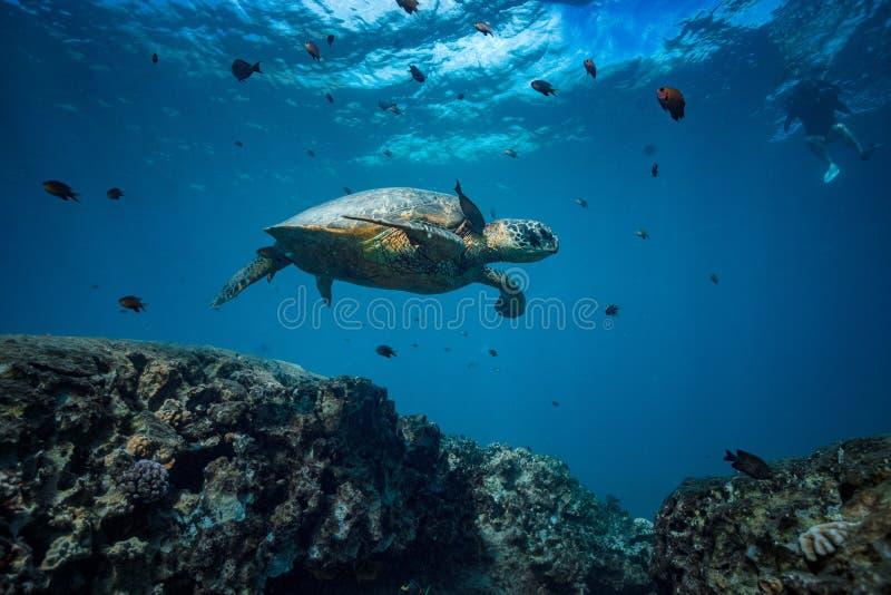 Большая черепаха в съемке кораллового рифа подводной стоковое изображение rf