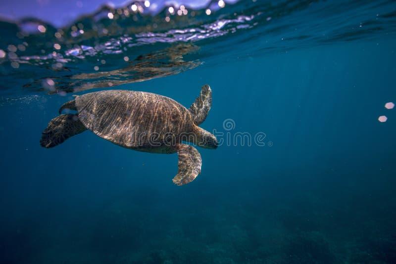 Большая черепаха в съемке кораллового рифа подводной стоковые фотографии rf